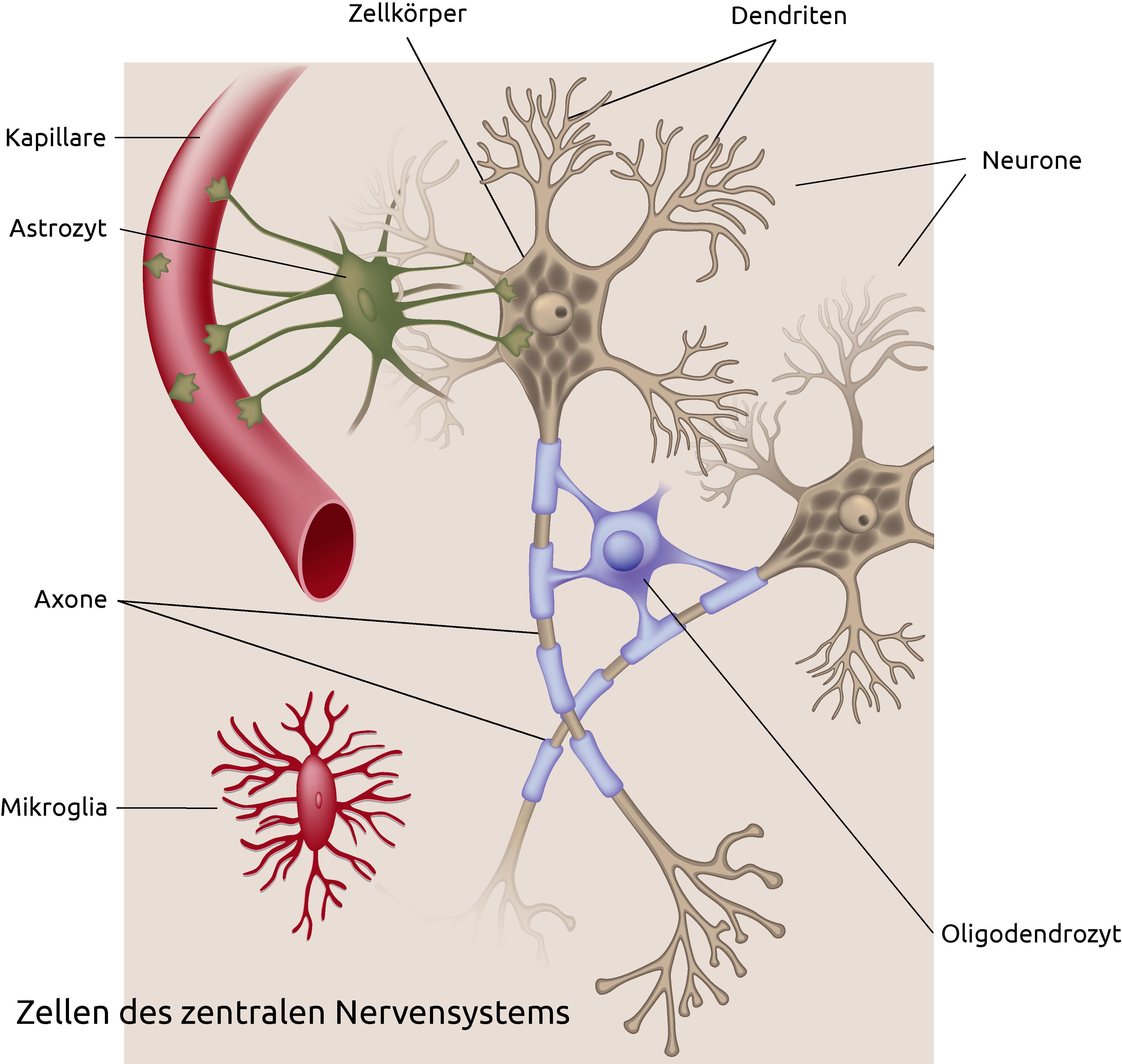 HAMNat Vorbereitung | HAM-Nat Biologie | Nervenreizleitung